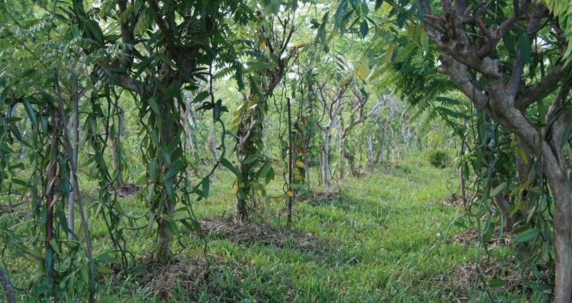 Plantation de vanille à sambava