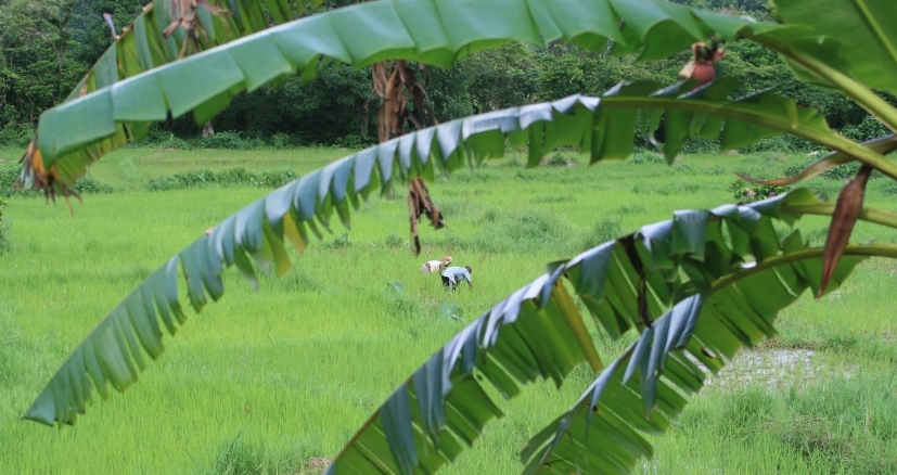 Plantation de riz à Marojejy